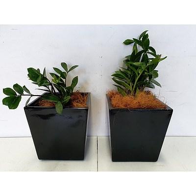 Executive Gloss Fibre Glass Desk Pot Planted with Zanzibar Gem (Zamioculus Zalmiofolia) - Lot of Two Indoor Plants