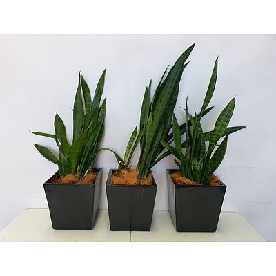 Executive Gloss Fibre Glass Desk Pot Planted with Sansevieria Species (Mother-in-Laws Tongue) - Lot of Three Indoor Plants