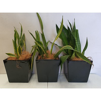 Executive Gloss Fibre Glass Desk Pot Planted with Snake Plant (Sansevieria Species) - Lot of Three Indoor Plants