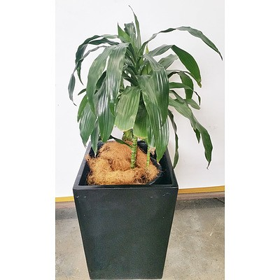 Janet Craig(Dracaena Deremensis) Indoor Plant With Fiberglass Planter