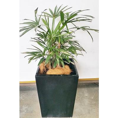 Rhapis Palm(Rhapis Excelsa) Indoor Plant With Fiberglass Planter
