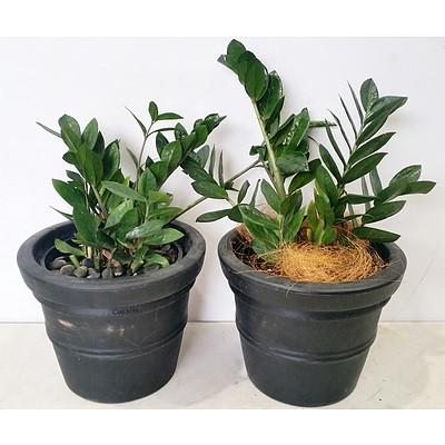 Two Zanzibar Gem(Zamioculus Zalmiofolia) Desk/Bench Top Indoor Plants With Cotta Pots