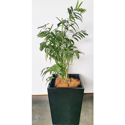 Bamboo Palm(Chamaedorea Seifrizii) Indoor Plant With Fiberglass Planter