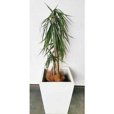 Dragon Tree(Dracaena Draco) Indoor Plant With Fibre Glass Planter Box